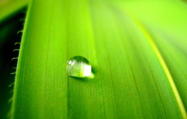 Just a drop: A drop of water on green leaf.