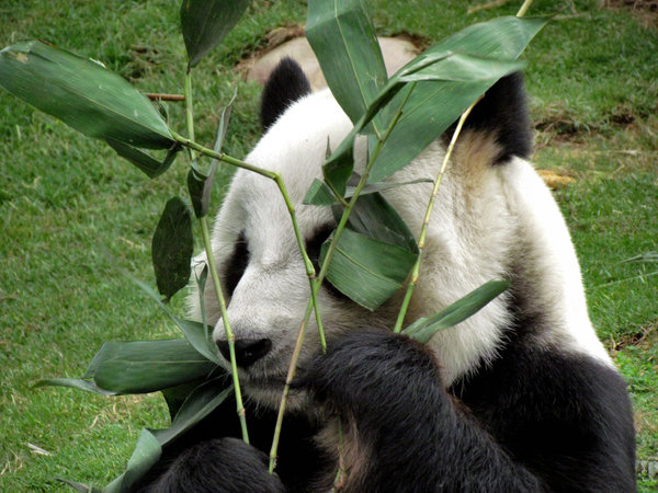 Herbivore Eating panda snack time5