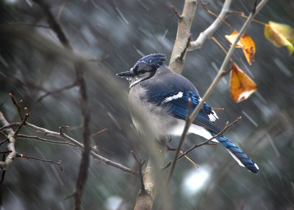 Blue Jay in Blizzard: A Blue Jay caught in the middle of a blizzard