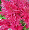 pink feathery flowers