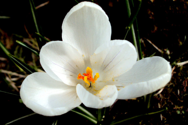 White Crocus: White crocus welcoming the winter sunshine
