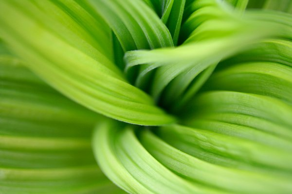 Veratrum Macro: Macro photo of a veratrum plant.