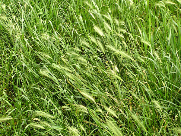 Rye in the grass: Or wheat. Wild one.
