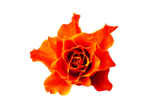 Vibrant Rose: Rose with an attractive shape