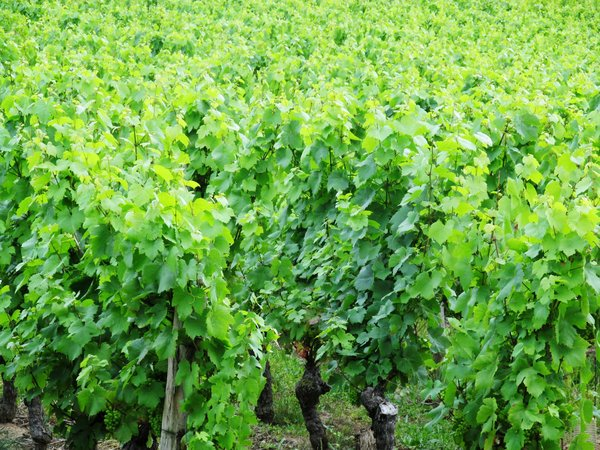 vineyard in Burgundie: none