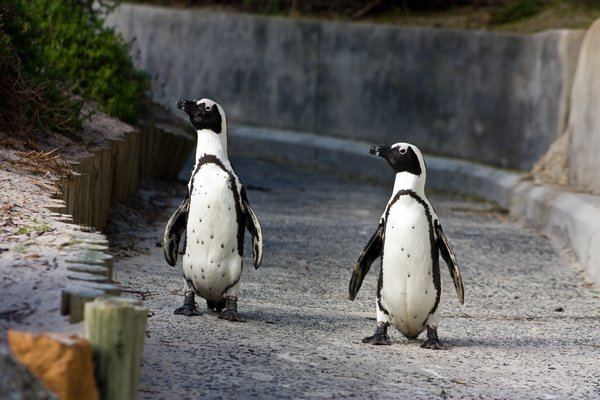 African Penguins: African penguins walking down a ramp at Boulders Beach near Cape Town, South Africa.