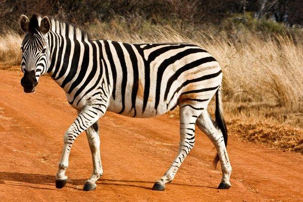 What Zebra Walking
