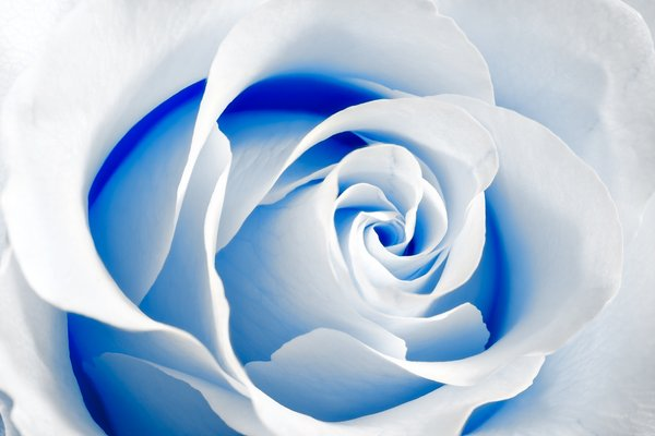 High Key Rose Macro: White rose macro with a high key effect and blue color tinting.