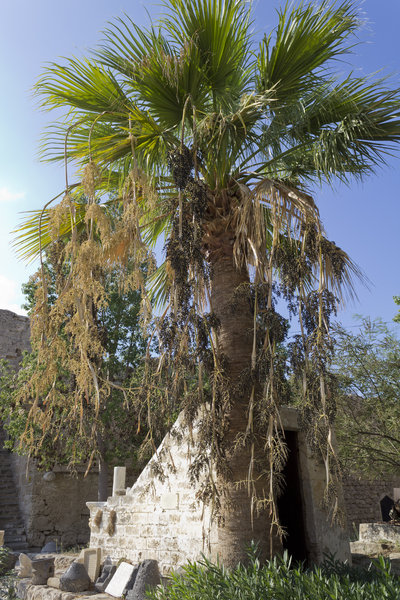 Palm tree, cyprus, fort, frond, fruit, mature, mediterranean, old, palm, ...