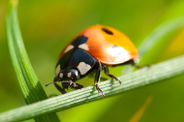 Ladybird: Ladybird on a blade of grass