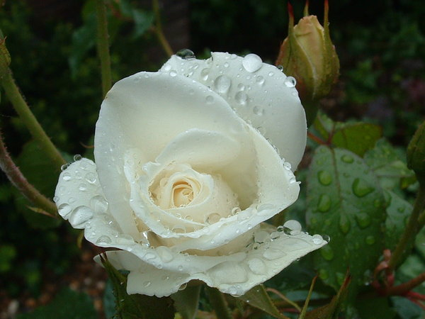 White rose with raindrops: no description