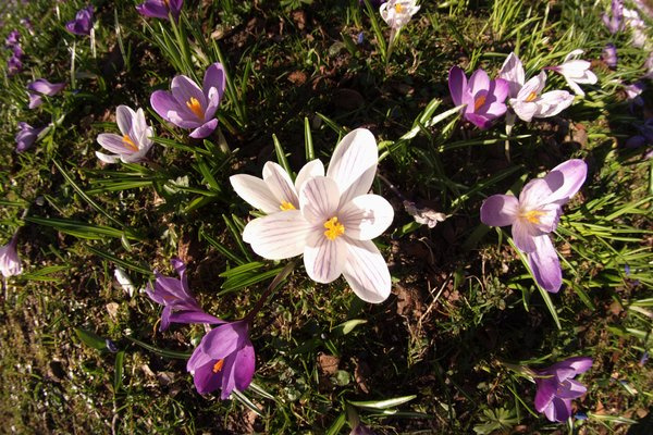 Crocus with fisheye: Bunch of crocus photographed using a fish eye lens