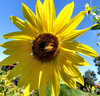 sunflower nectar