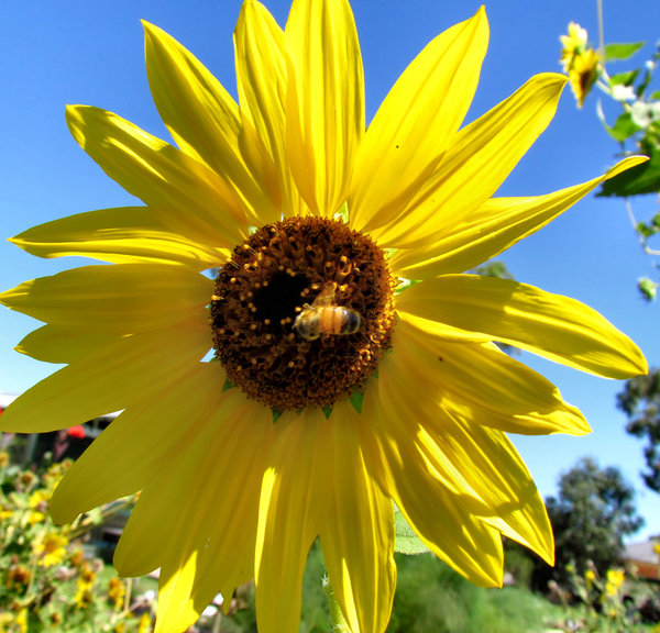 sunflower nectar: sunflower with bee at its centre
