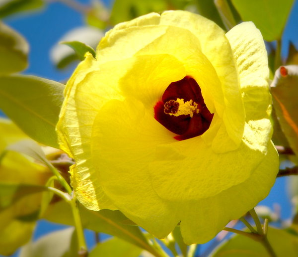 Free stock photos rgbstock free stock images yellow cotton yellow cotton tree flower mightylinksfo Gallery