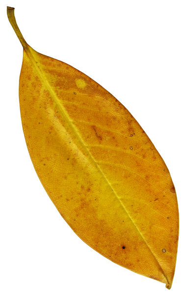 Magnolia Leaf 3: A single, isolated Magnolia leaf.