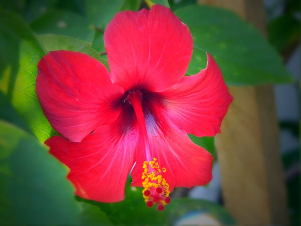 Red Hibiscus: A red hibiscus with yellow pollen.