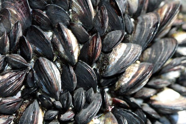 Mussels texture: Mussels texture