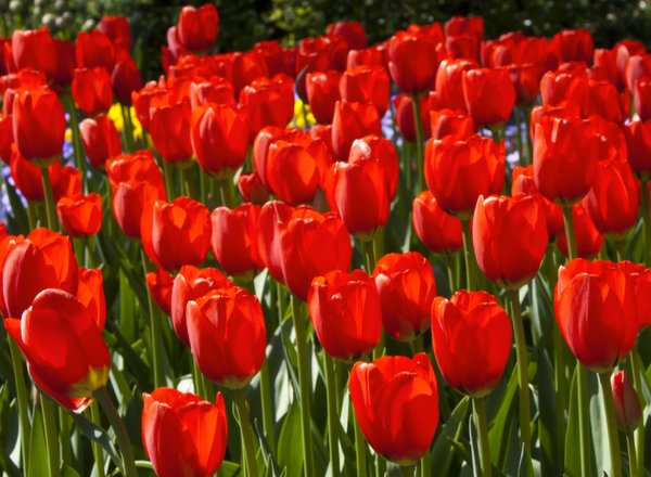 Red Tulips: A flowerbed full of red tulips at kuekenhof Gardens near Amsterdam, Netherlands.