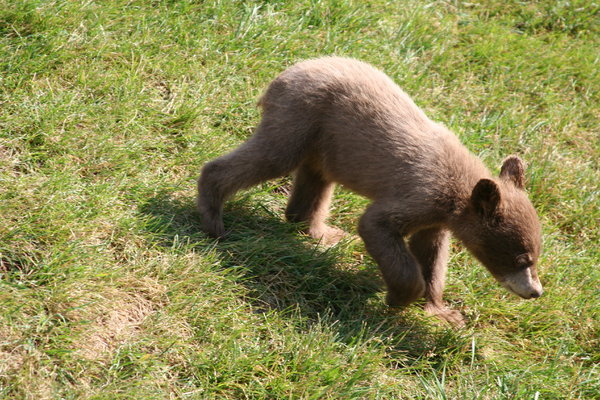 Bear cub: brown bear