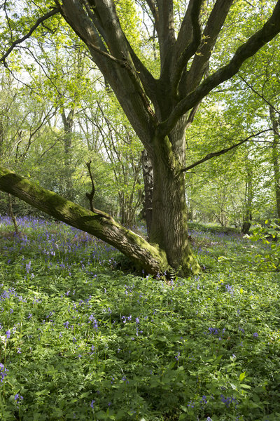 Woodland in spring: Bluebell woodland in spring in West Sussex, England.