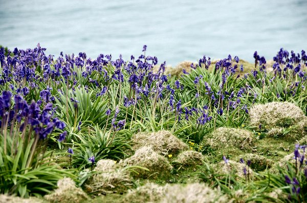 Bluebells and sea: Skomer Island South Wales
