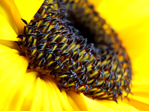 Sunflower Macro: A macro shot of a sunflower. 