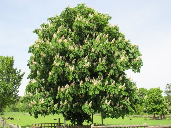 blooming chestnut tree: blooming chestnut tree