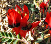 Sturt's desert pea1