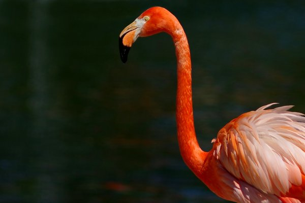 Flamingo: Flamingo bird, Phoenicopterus, in front of water.
