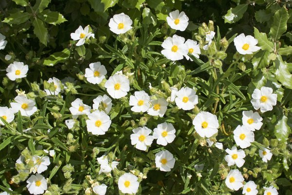 Wild cistus flowers: White cistus flowers growing wild in Sardinia.