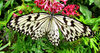 butterfly beauty2