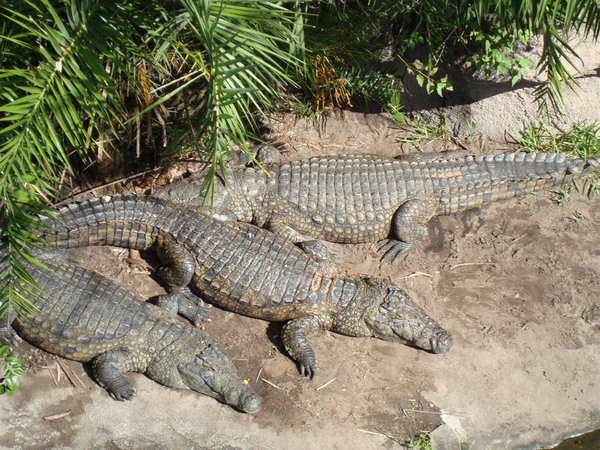 Crocodiles warming in the sun: African crocodiles on a sandy shore basking in the warm sunlight.