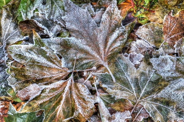 Frosted leaves: Sycamore leaves in the morning after a sharp frost at a Motorway service station!