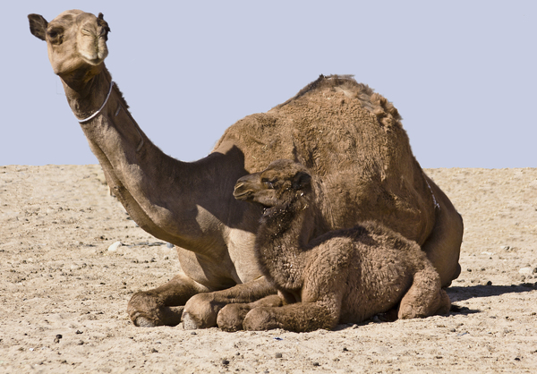 Camel and baby: Desert wanderers resting.