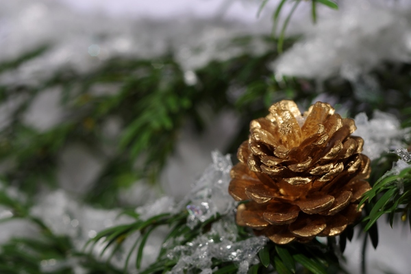 Golden cone on tree: Golden cone on a tree with snow