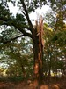 Tree hit by lightening