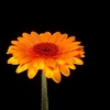 Single orange Aster