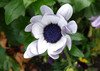 White Osteospermum