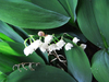 snail on lily of the valley