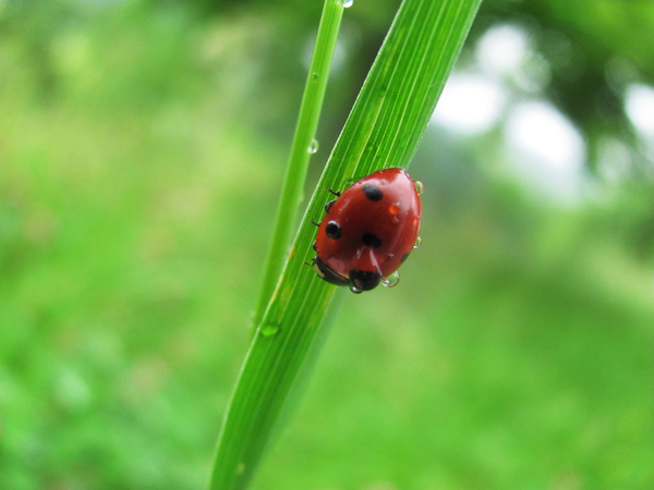 Ladybug: Ladybug with waterdrop close-up on grass stalk