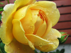 yellow rose with dew