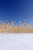Winter Reed