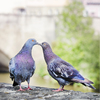 Kissing pigeons