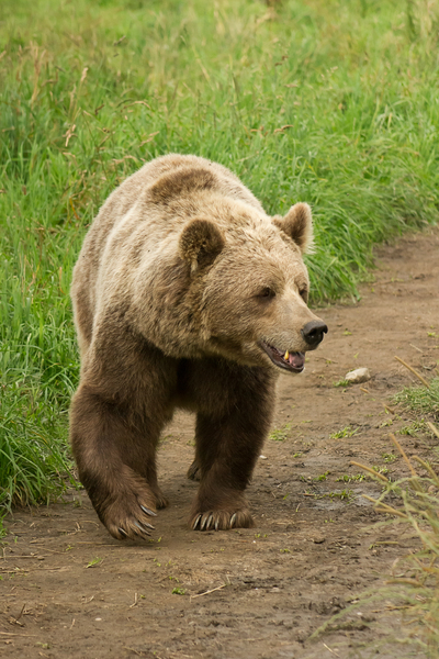 Brown Bear, european: a brown bear with giant sharp claws walking along a path