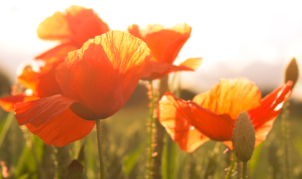 Poppies in bright Sunlight: Some Poppies on the Edge of a Field, shot against the Evening- Sunlight