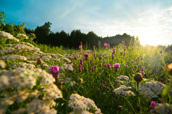 Flower Field at Sunset: Field of wild Flowers at Sunset, near Munich, Bavaria, Germany