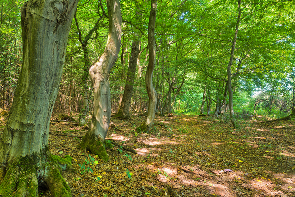 Forest Path - Fairytale Forest: Footpath in a Fairytale like Forest. Natural Woodland with Hornbeam and Ash Trees, Spots of Sunlight on the Ground.