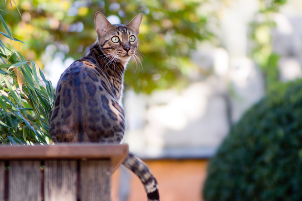 Bengal Cat in the Garden: Bengal Cat in the Garden, October Mood. Very shallow DOF with 85mm at f/1,4