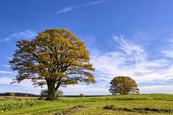 Oak Trees in Field: Oak Trees in Field - Autumn